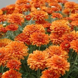 perennial fall chrysanthemum