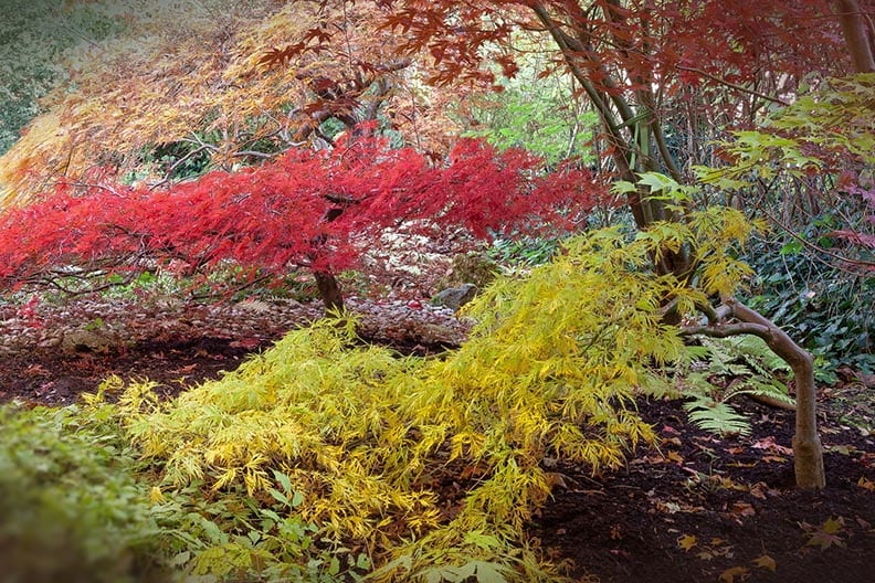 fall trees - japanese maple