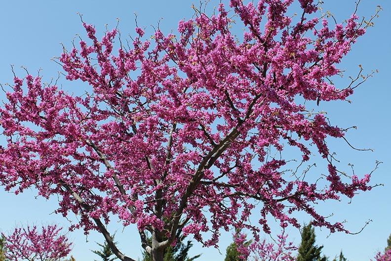 fall trees - redbud